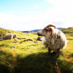 maggie wong msolo travel _iceland sheep-