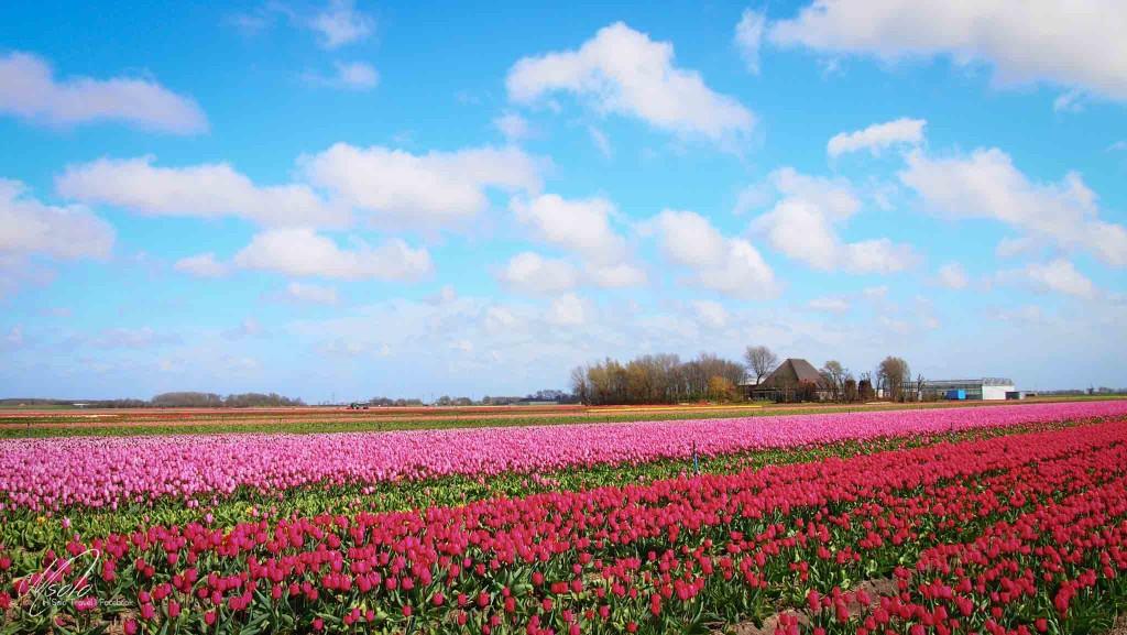 My dream come true, Turlips fields@ Bloemendagen